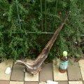 アートな流木(小)「藪椿」